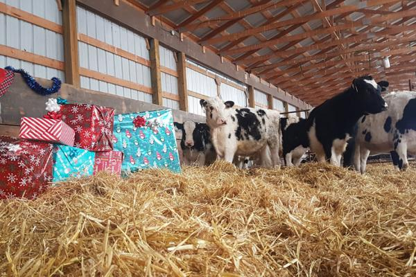 Cows in the barn around a large pile of Christmas gifts.