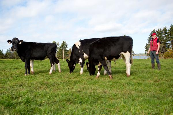 Cows in the pasture at MacInnis Brothers Farm