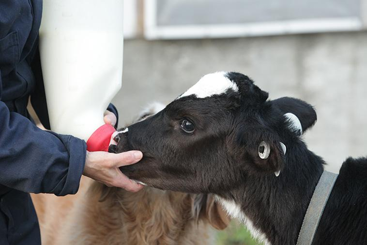 A farmer, accompanied by her dog, feeds a calf at Stanlee Farm, Ontario.