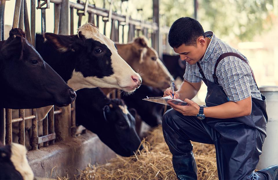 A veterinarian caring for his cows