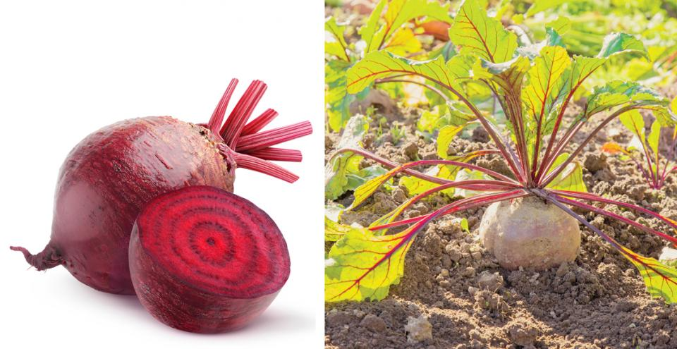 Beets grow in the ground