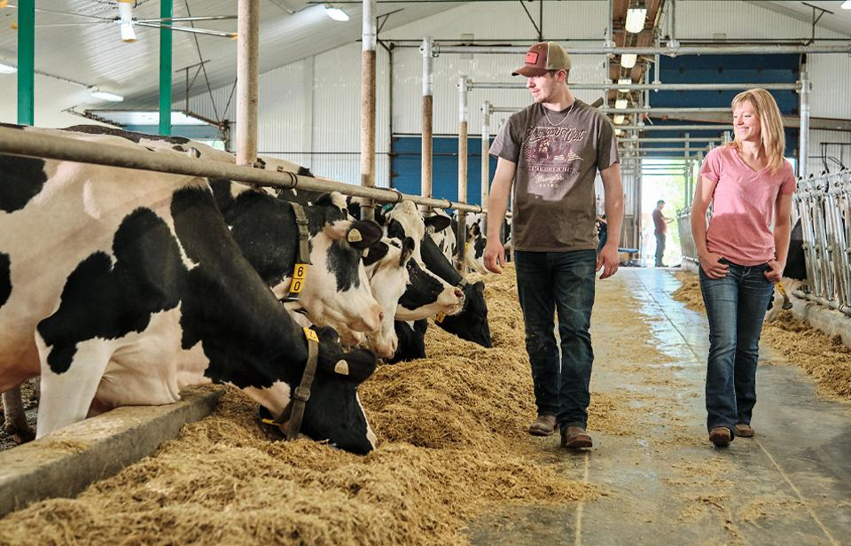 Two dairy farmers walk by and inspect dairy cows in a barn