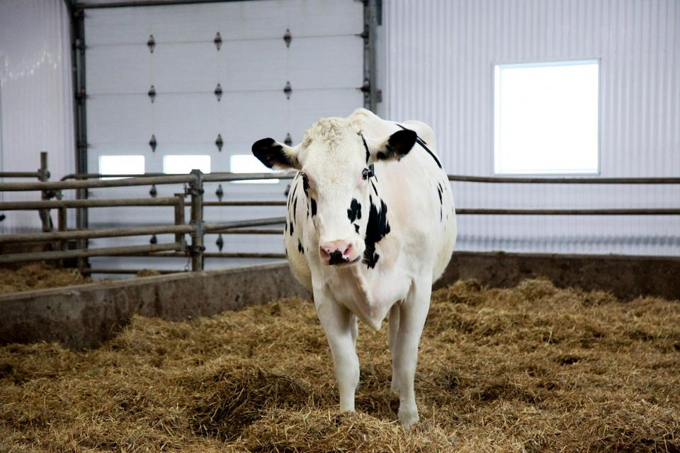 A dairy cow in a barn