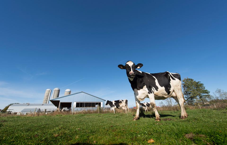 Dairy cows walking around a pasture in front of a Canadian barn