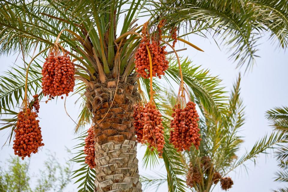 Variety of date-palm tree