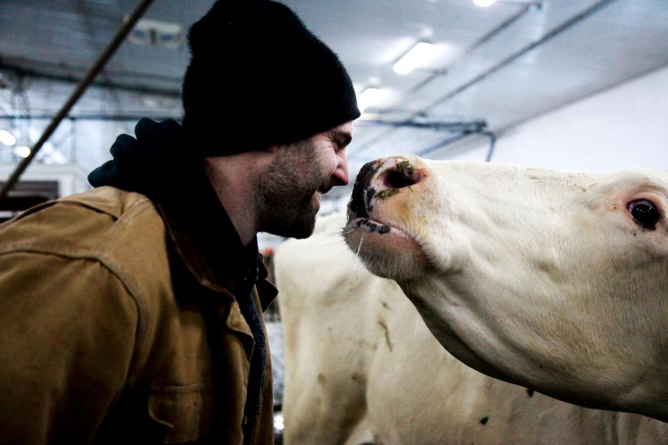 A Canadian dairy farmer caring for his cow