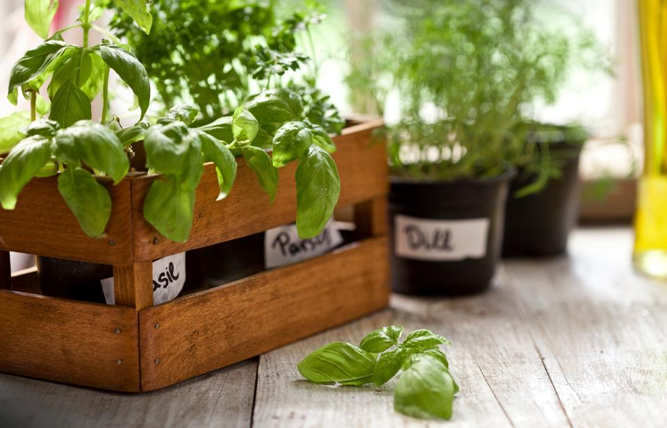 Indoor herb garden by windowsill.